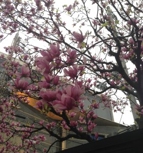 花は確かにJapanese Magnolia@Kobe, April1, 2016